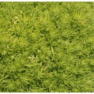 Lemon Coral (Sedum) Live Plant, Green Foliage, 4.25 in. Grande