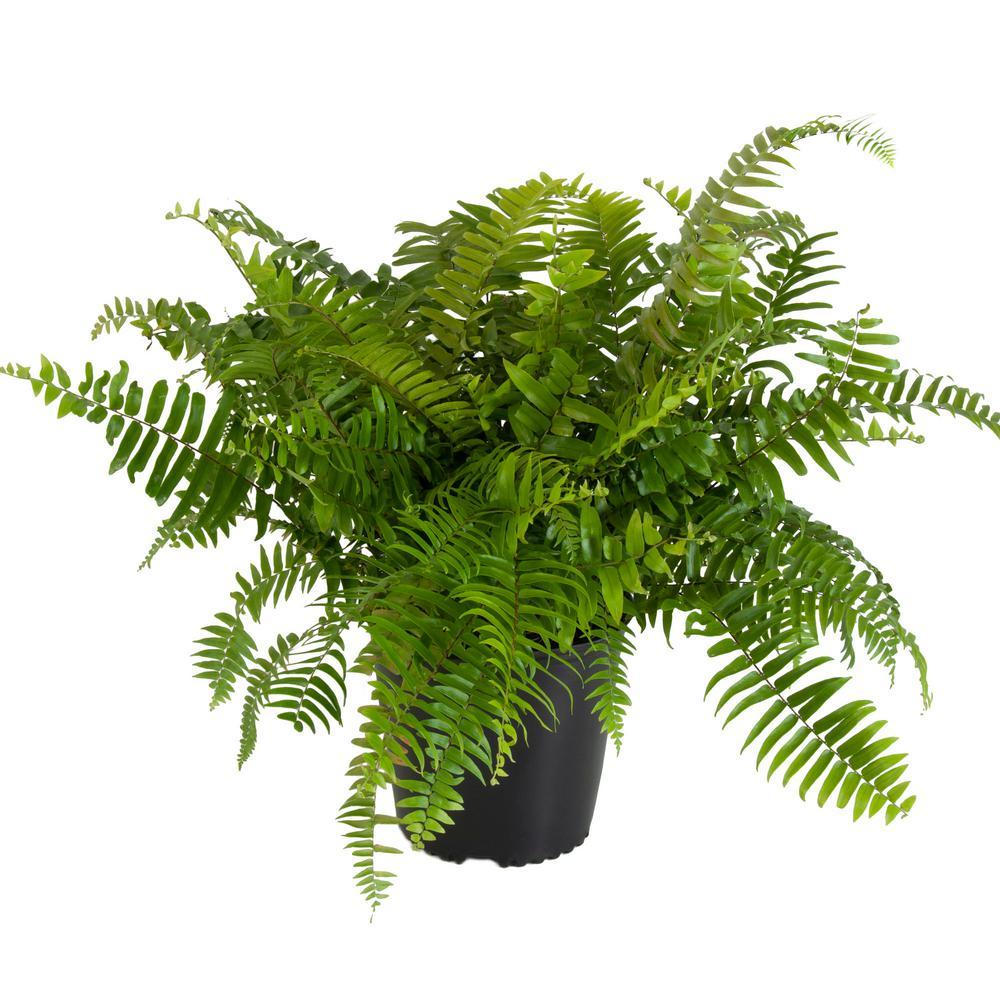 United Nursery Macho Fern Plant In 9 25 In Grower Pot 20873 The