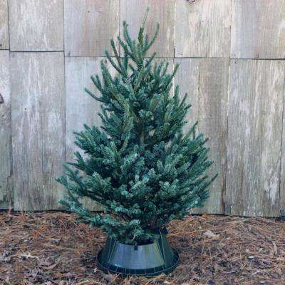3 ft. to 4 ft. Freshly Cut Black Hill Spruce Real Christmas Tree