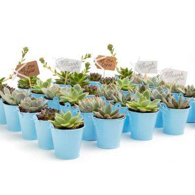 2 in. Wedding Event Rosette Succulents Plant with Blue Metal Pails and Let Love Grow Tags (60-Pack)
