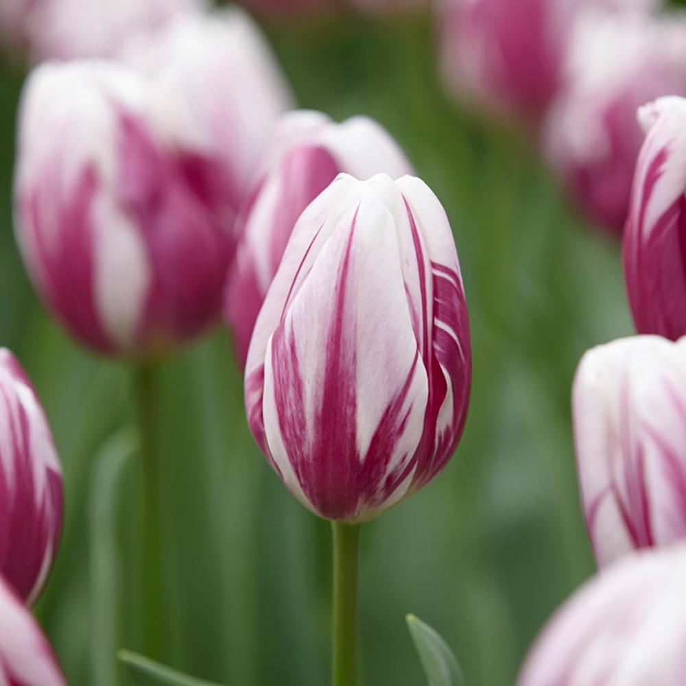Tulip flower bulbs garden plants flowers the home depot striped tulip flag bulbs 50 countpack izmirmasajfo