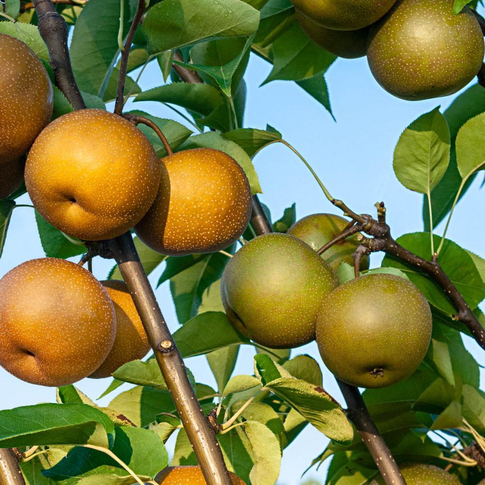Growing asian pear tree And