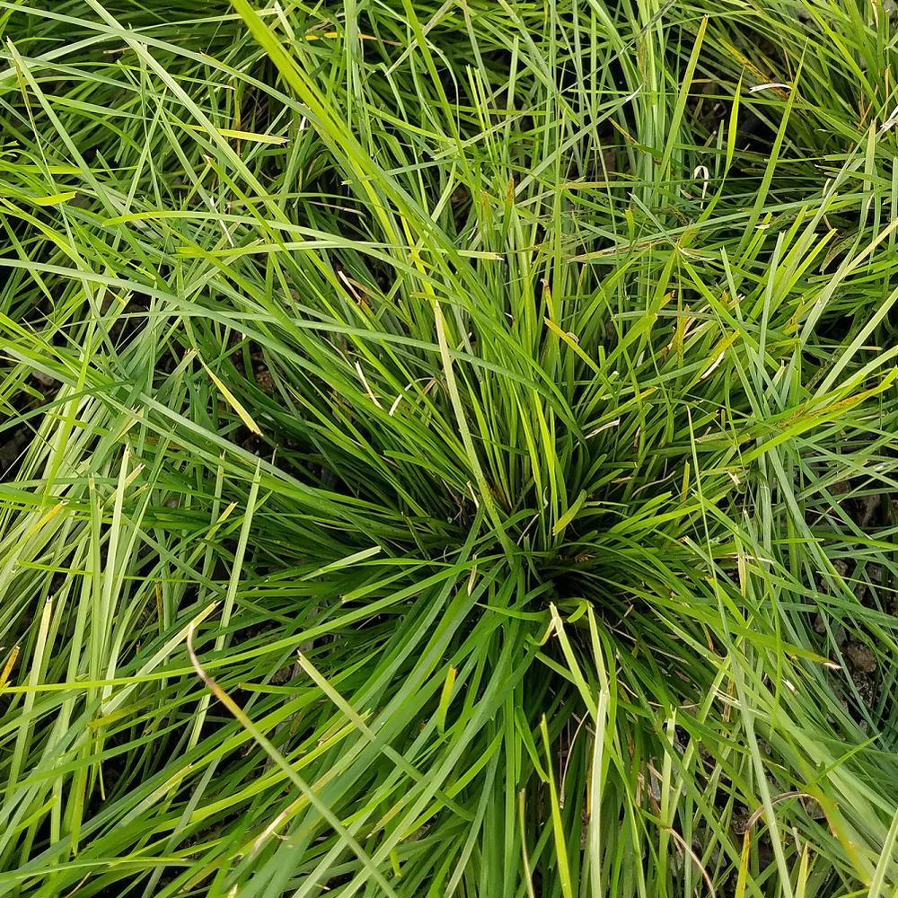 2.5 Qt. Breeze Lomandra, Live Evergreen Grass, Pine Green Foliage