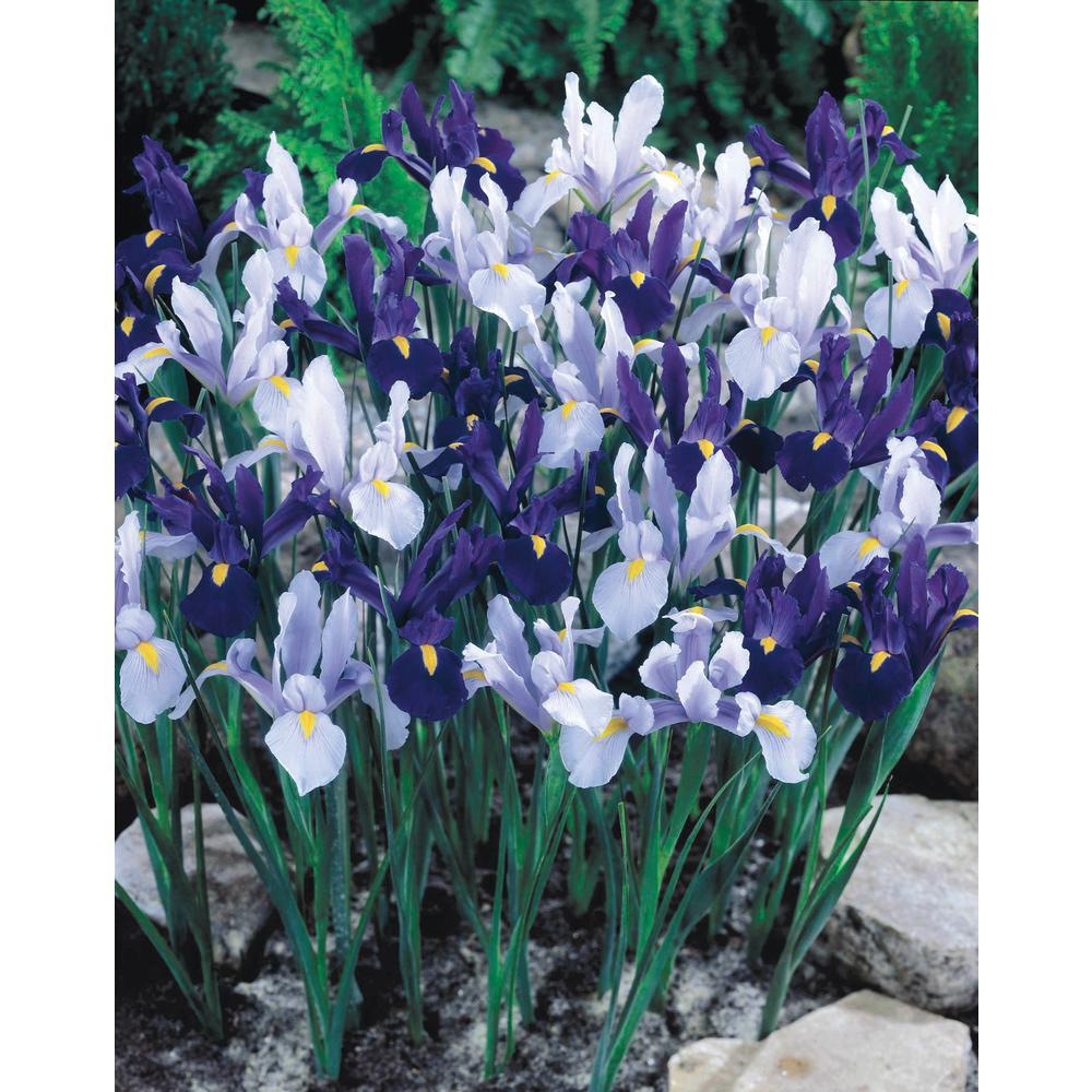 blue and white dutch iris mix
