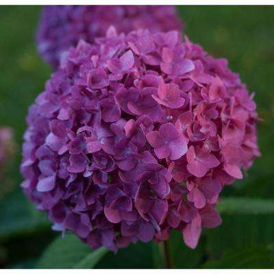 4.5 in. Qt. Let's Dance Rave Reblooming Hydrangea (Macrophylla) Live Shrub, Purple or Pink Flowers