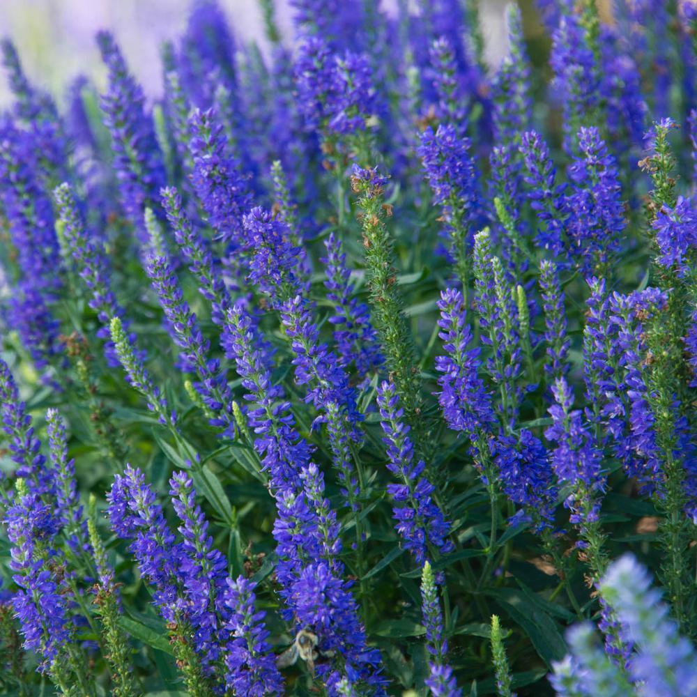 Spring Hill Nurseries Blue Flowers Dwarf Blue Veronica Live