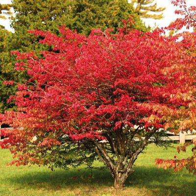 Burning Bush Red Root Stock (1-Set)