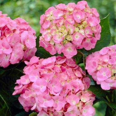 Forever and Ever Early Sensation Hydrangea (4 in. Potted Plant)