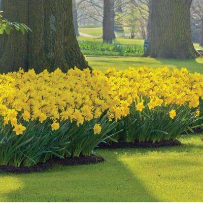 Yellow perennial flower bulbs garden plants flowers the narcissus dutch master bulbs 100 pack mightylinksfo
