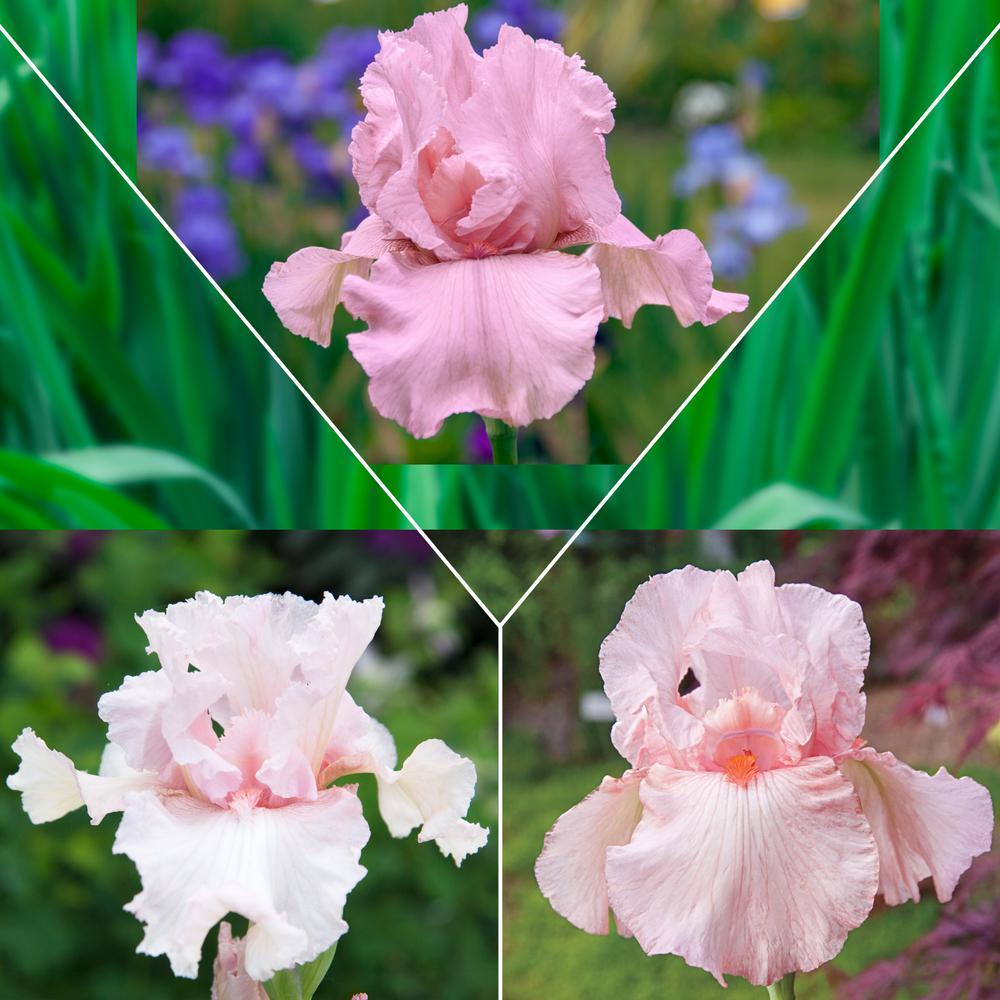 Pink Flowering Iris Mixture, Live Bareroot Perennials (3-Pack)