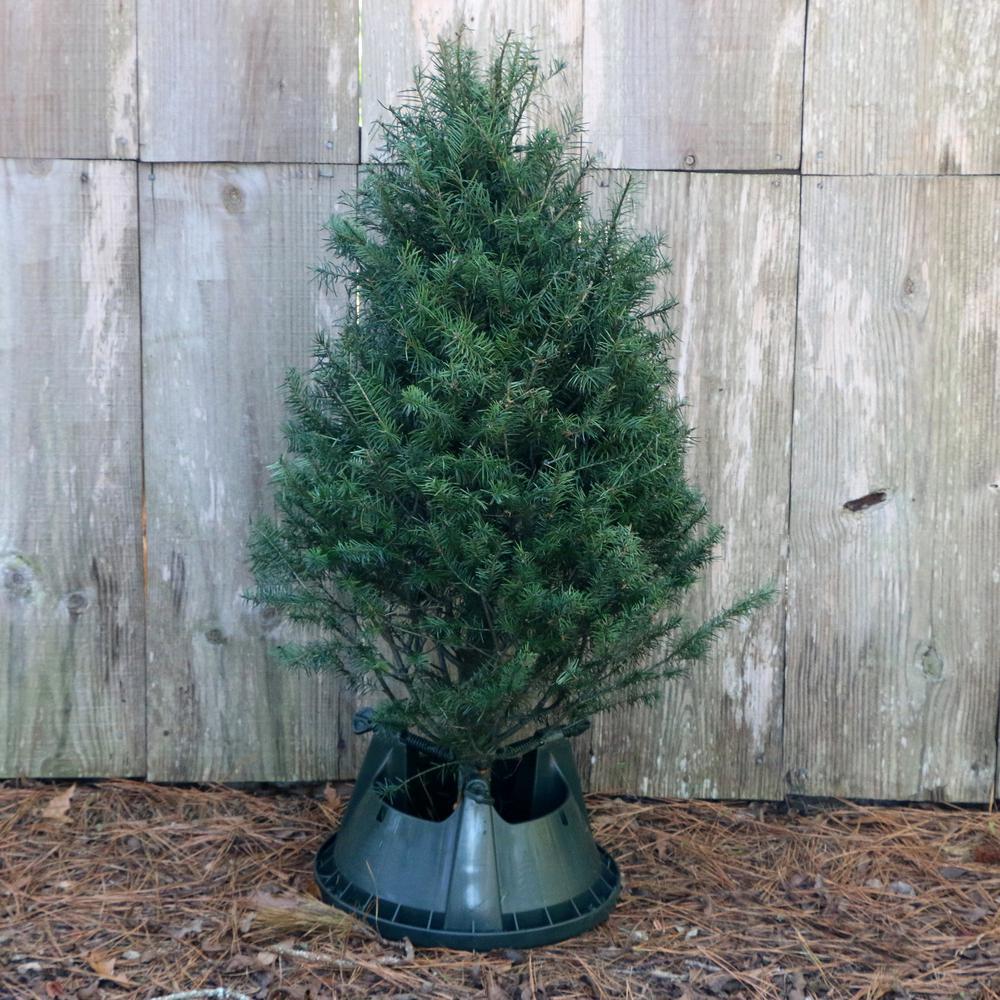 3 ft. to 4 ft. Freshly Cut Douglas Fir Real Christmas Tree