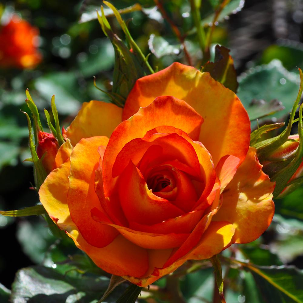 Mea Nursery All-Time Favorites Red Gold Floribunda Rose with Yellow to Red Flowers was $25.98 now $10.49 (60.0% off)