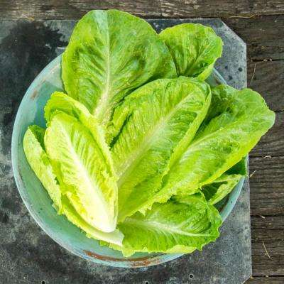 Lettuce Head Romaine Vegetable Seeds (15 ft. Seed Tape)
