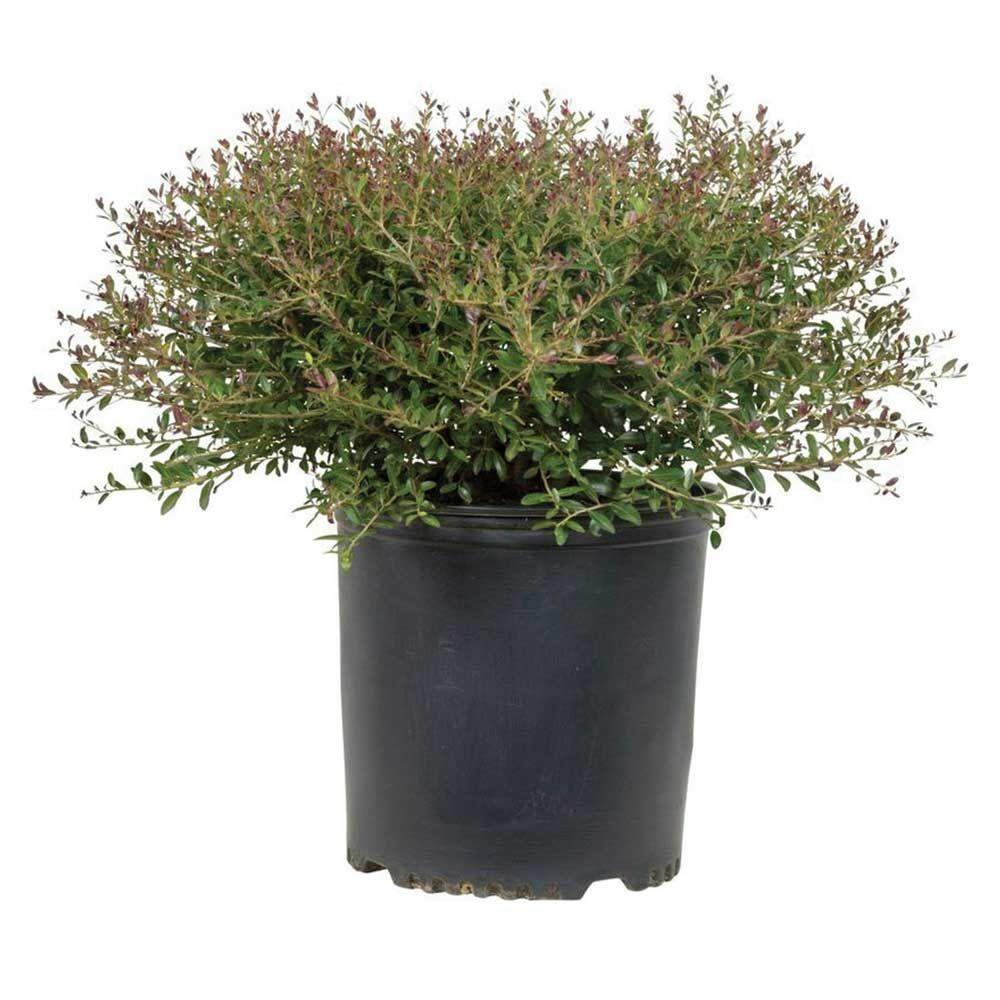 2.5 Qt. Bordeaux Yaupon Holly(Ilex), Live Evergreen Shrub, Burgundy-Red New Foliage