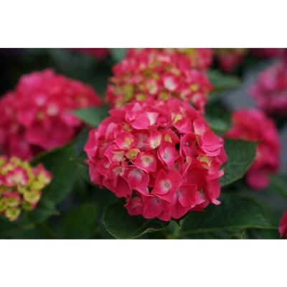 4.5 in. Qt. Wee Bit Giddy Bigleaf Hydrangea (Hydrangea Macrophylla) Live Plant, Pink Flowers