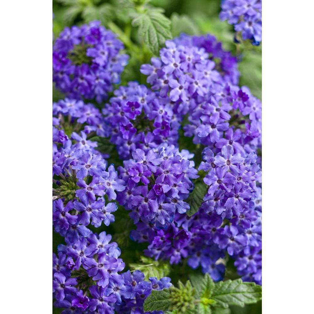 Superbena Royale Chambray (Verbena) Live Plant, Blue-Purple Flowers, 4.25 in. Grande
