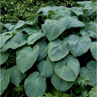Green 1 Qt. Hosta Mix (Pack of 4)