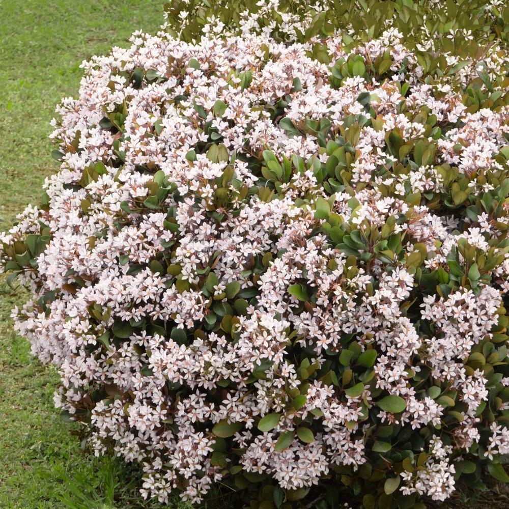 National Plant Network 2 25 Gal Indian Hawthorn Snow White
