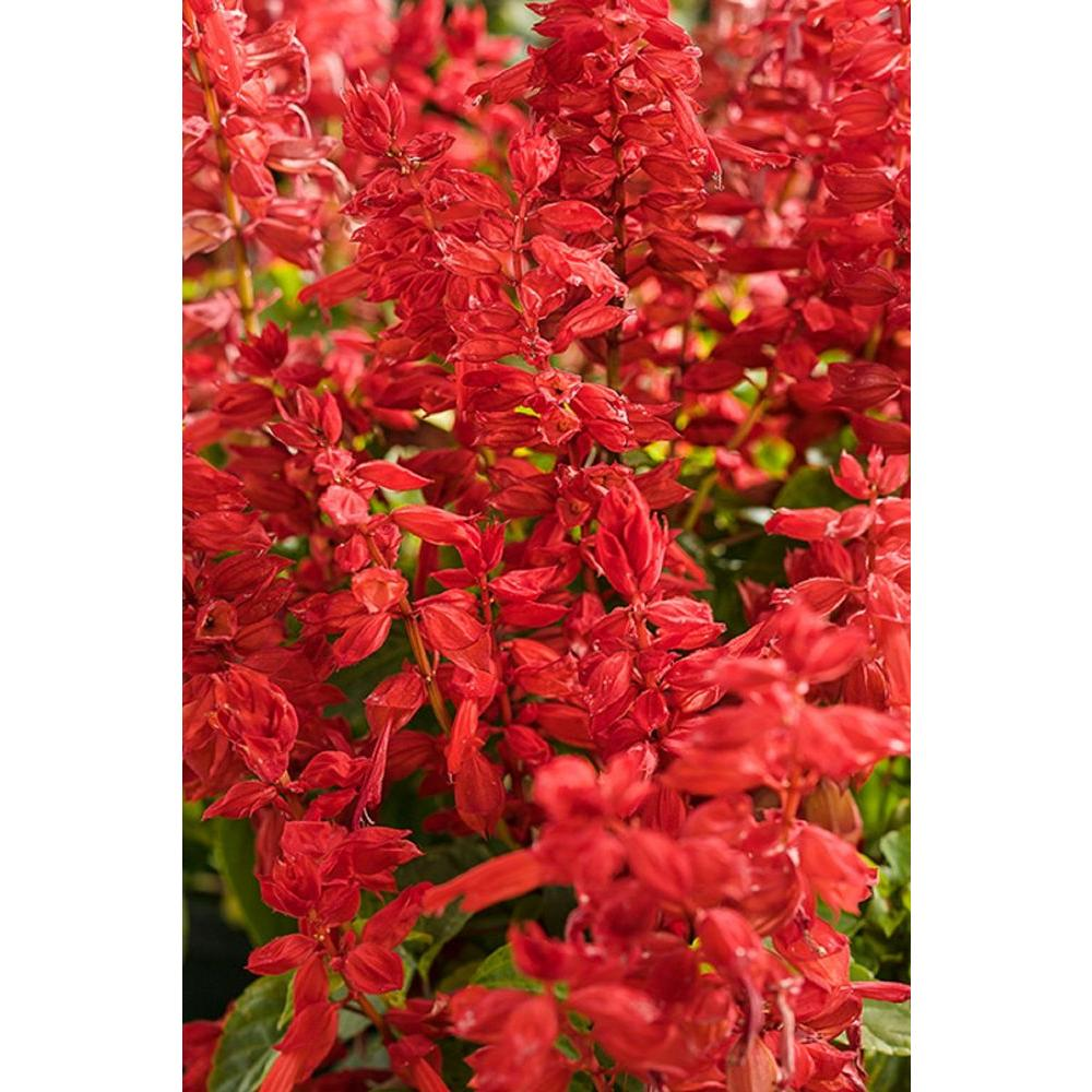 Ablazin' Tabasco (Salvia) Live Plant, Red Flowers, 4.25 in. Grande, 4-Pack