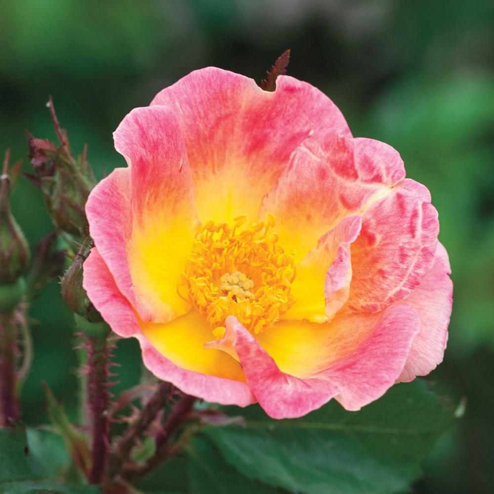 Spring Hill Nurseries Rainbow Happy Trails Groundcover Rose Live