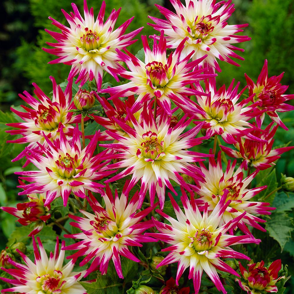 Van zyverden dahlias hayley jane bulbs set of 5 830871 the home van zyverden dahlias hayley jane bulbs set of 5 izmirmasajfo