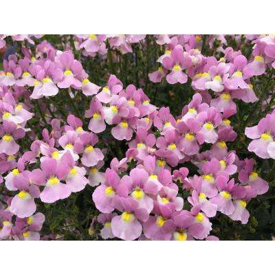 4-pack, 4.25 in. Grande Aromance Pink (Nemesia) Live Plants, Pink Flowers