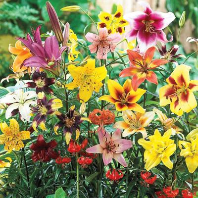 Mixture All Summer Lily Bulb (25-Pack)
