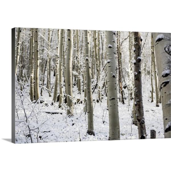 GreatBigCanvas ''Snowy birch trees in a forest, Aspen, Colorado'' by Circle