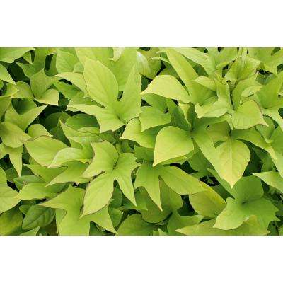 Sweet Caroline Light Green Sweet Potato Vine (Ipomoea) Live Plant, Green Foliage, 4.25 in. Grande, 4-pack