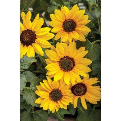 4.25 in. Grande Suncredible Yellow (Helianthus) Live Plants, Yellow Flowers (8-Pack)