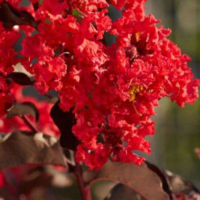 Best Red Black Diamond Crape Myrtle