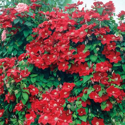 2 in. Pot Rouge Cardinal Clematis Vine Red Flowers Live Perennial Plant (1-Pack)