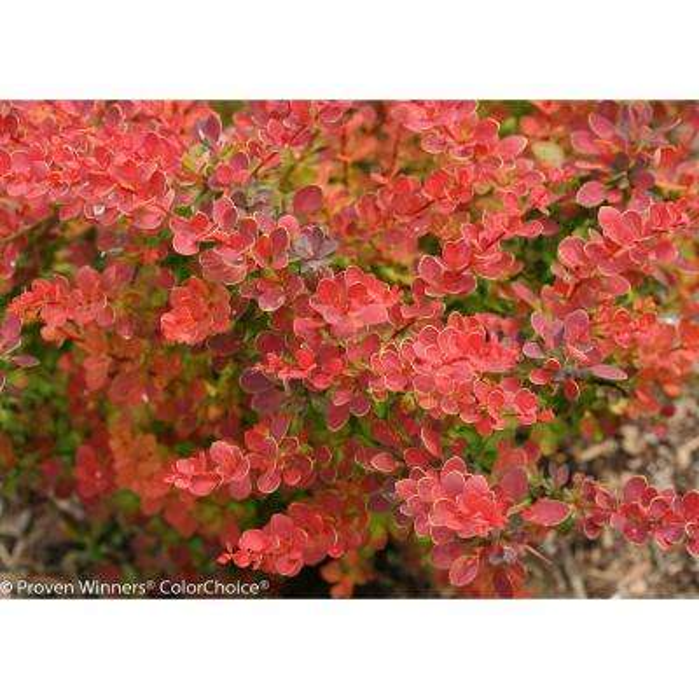 1 Gal. SunjoyTangelo Barberry (Berberis) Live Shrub,Orange and Green Foliage