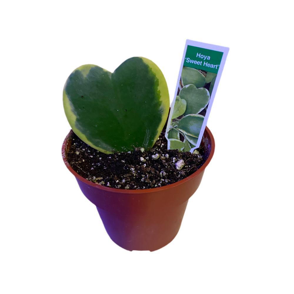 4 in. Hoya Kerrii Variegated Single Leaf Plant in Nursery Pot