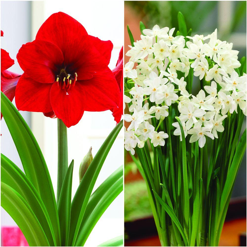Bloomsz Economy Amaryllis Red Lion 1 And Paperwhite 3 Collection