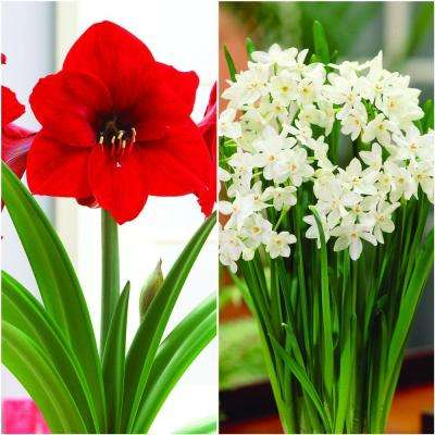 Economy Amaryllis Red Lion (1) and Paperwhite (3) Collection