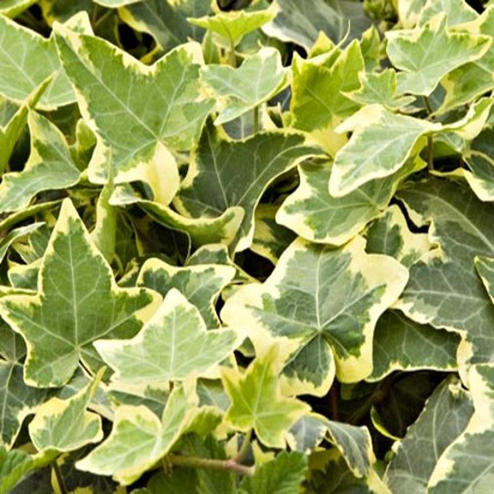 Ivy Half Flat Ivy Groundcover