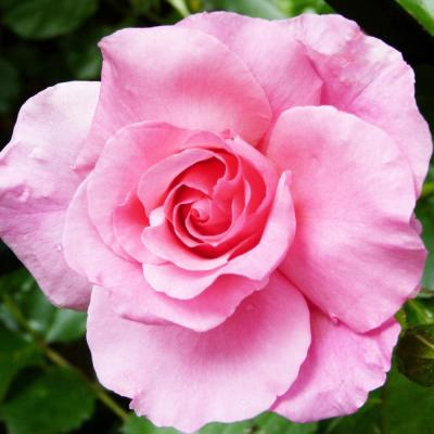 Patented Fragrant PINK PROMISE Hybrid Tea Rose with Pink Flowers
