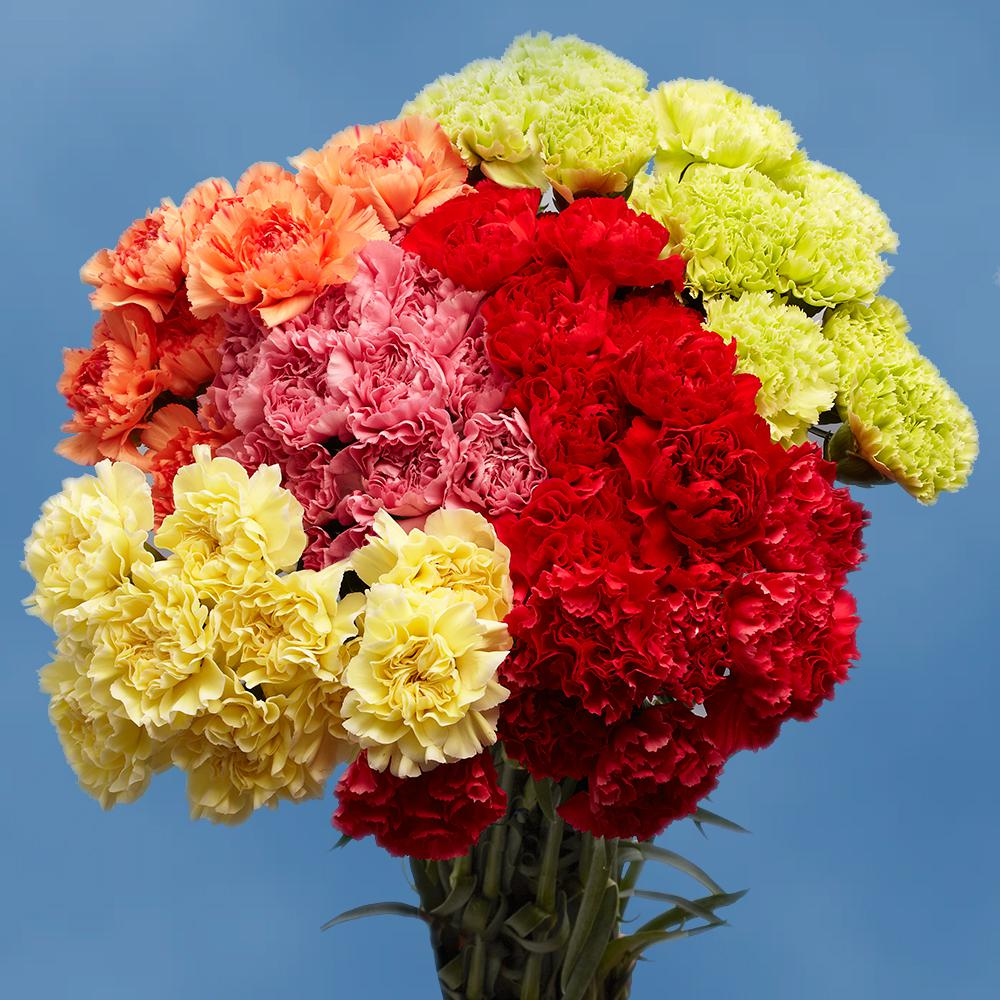 Globalrose Fresh Beautiful Color Carnations 200 Stems Carnations