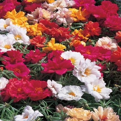 1.38-Pint Mixed Moss Rose Purslane Plant