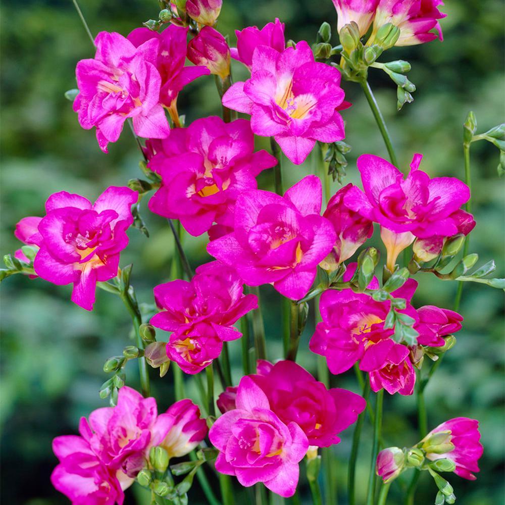 Freesia Flower Bulbs Plants Garden Flowers The Home Depot