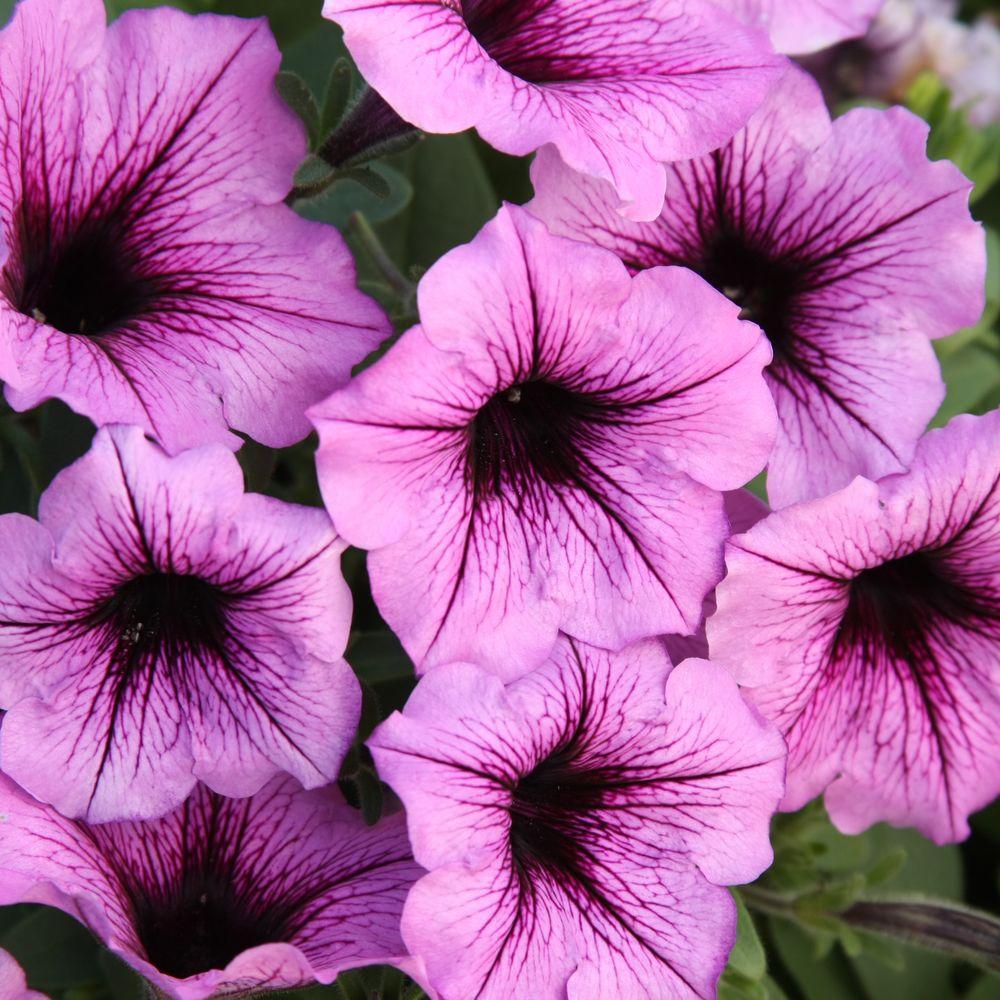 Supertunia Bordeaux (Petunia) Live Plant, Light Purple Flowers with Deep Plum Veins, 4.25 in. Grande