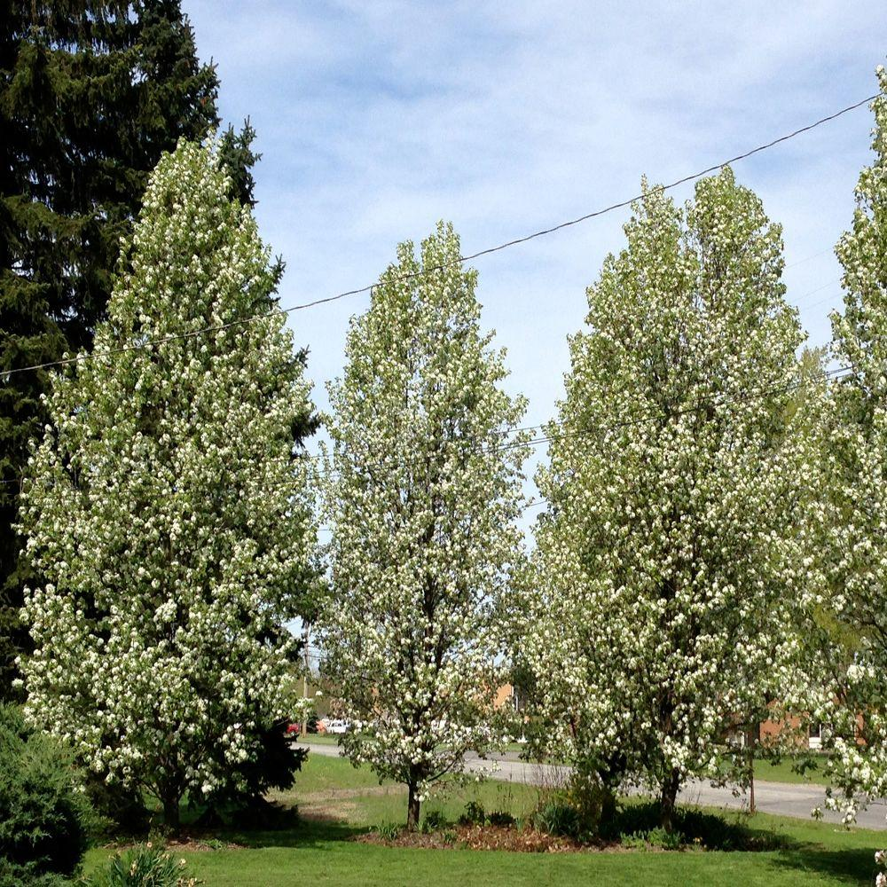 OnlinePlantCenter 5 gal. 5 ft. Cleveland Select Pear Tree