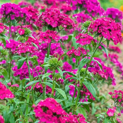 Dianthus Amazon Neon Duo Flower Seeds (25 Seed Packet)