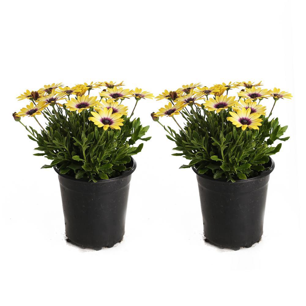 2.5-Qt. #1 Blue Eyed Beauty Osteospermum Plant (2-Pack)