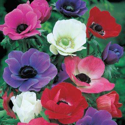 Anemones Mix Super Bag Bulbs (50-Pack)