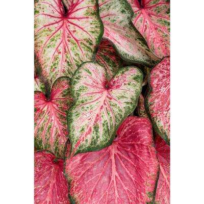 4.5 in. Quart Heart to Heart Blushing Bride (Caladium) Live Plant in Pink Foliage