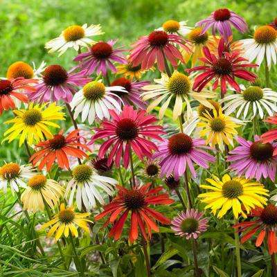 Echinacea Cone Flower Mixed Roots (10-Set)
