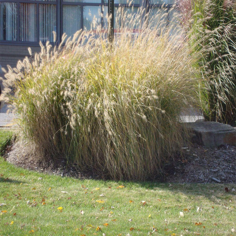Onlineplantcenter 1 gal fountain grass plant p980cl the for Fountain grass