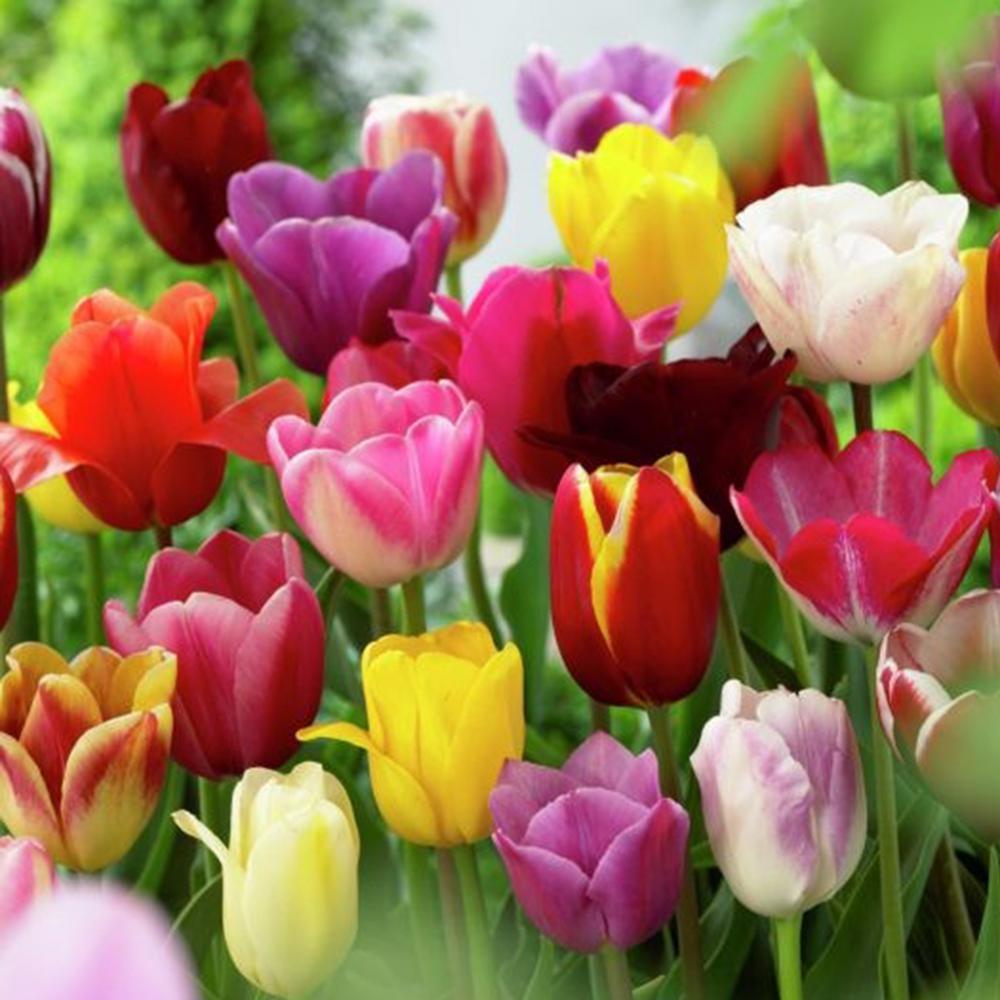 Van Zyverden Mixed Tulips Non Stop Mixed Colors Blend